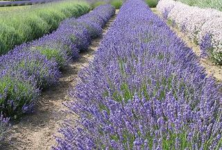 Lavender field crop high res for web